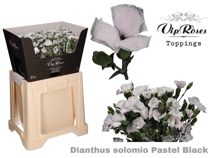 DI SOLOMIO PASTEL BLACK (L50cm)