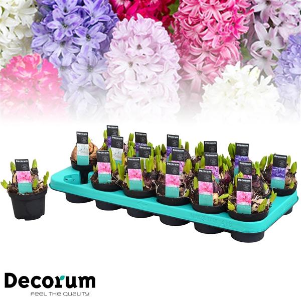 <h4>Hyacinthus Multiflora mix</h4>