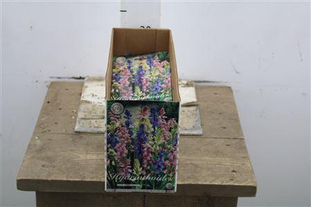 <h4>Bulb Hyacinth Hispanica Mix X10</h4>