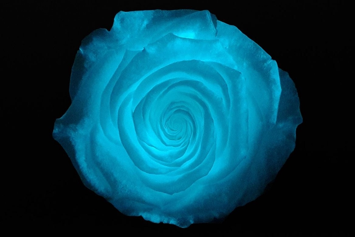 <h4>PRESERVED ROSA LL GLOW IN THE DARK</h4>