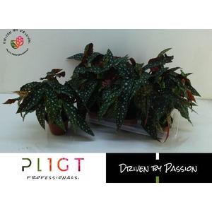 Begonia leaf maculata Wightii 14Ø 36cm