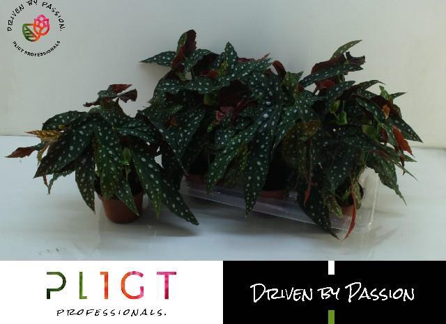 <h4>Begonia leaf maculata Wightii 14Ø 36cm</h4>