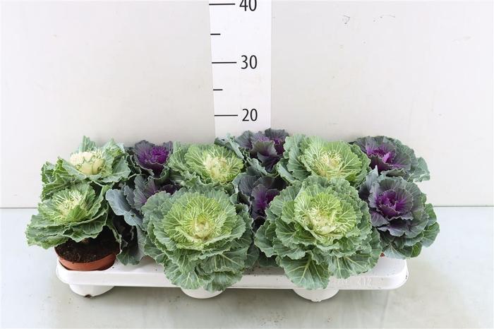 <h4>Brassica (sierkool)</h4>