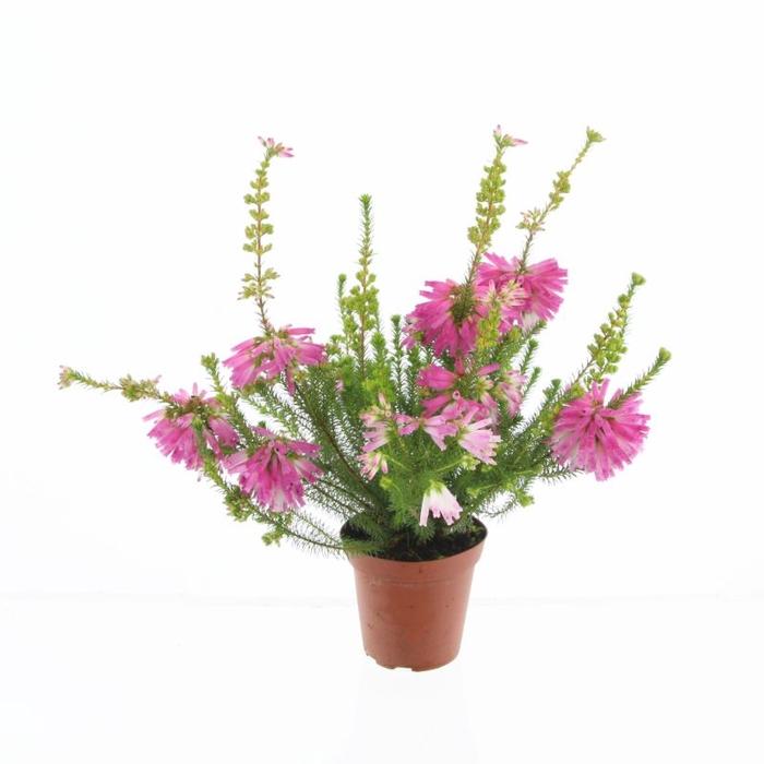 <h4>Erica verticillata</h4>