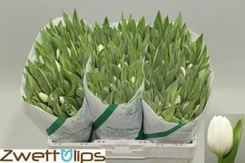 <h4>Tulipan Royal Virgin</h4>