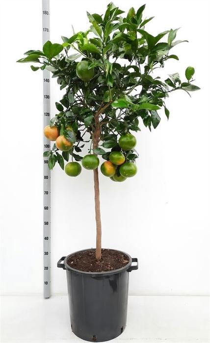 <h4>Citrus paradisi</h4>