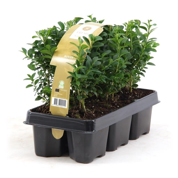 <h4>Buxus sempervirens 6-pack</h4>