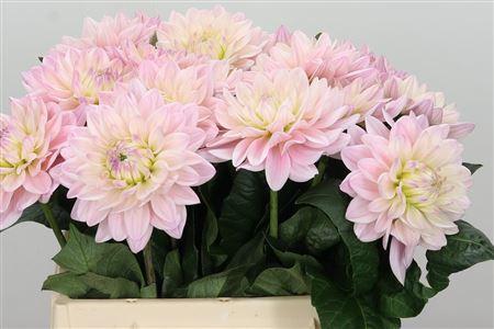 <h4>Dahlia Princess Kate Pale Pink</h4>