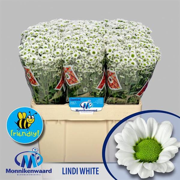 <h4>Chrys. santini Madiba Lindi White</h4>