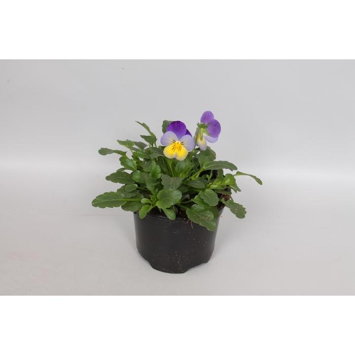 <h4>Viola cornuta F1 Blue Purple Wing</h4>