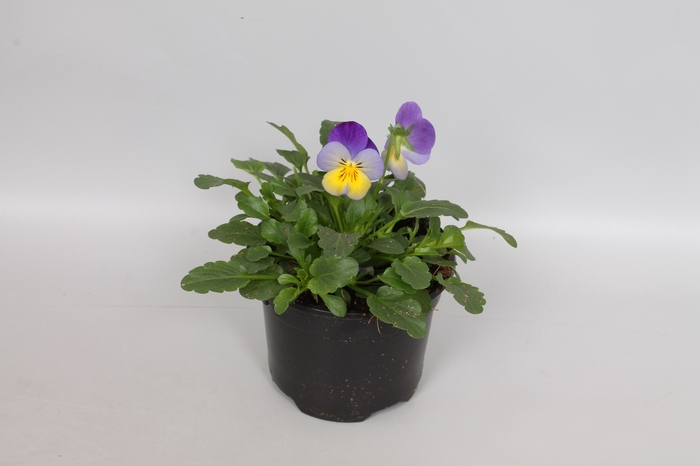<h4>Viola cornuta F1 Blue Purple Wing</h4>