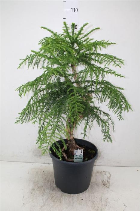 <h4>Araucaria Cunninghamii</h4>