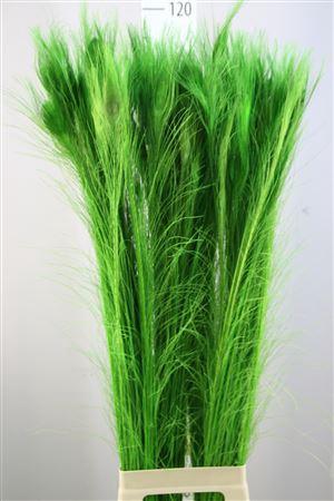 <h4>Pauwenveren Green 90</h4>