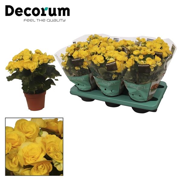 <h4>Begonia ''rebecca'' geel</h4>