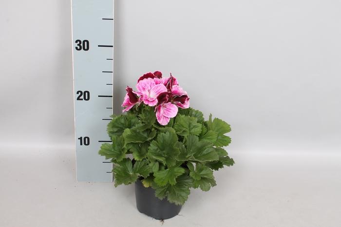 Pelargonium Grandiflorum Patricia