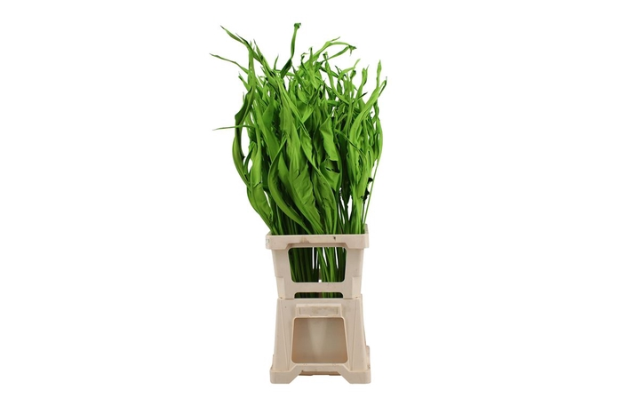 <h4>Strelitzia Apple Green</h4>
