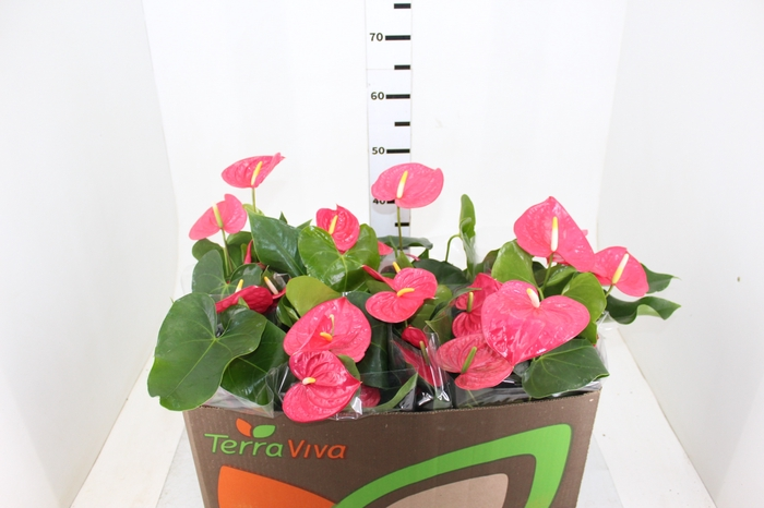 <h4>ANTHURIUM CALIFORNIA P15 ROSA</h4>