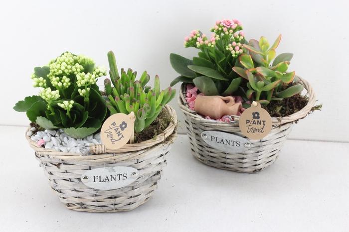 arr. PL - Mand ovaal plants - roze/wit