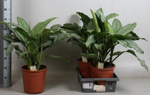 <h4>Aglaonema  'B.J. Freedman'</h4>