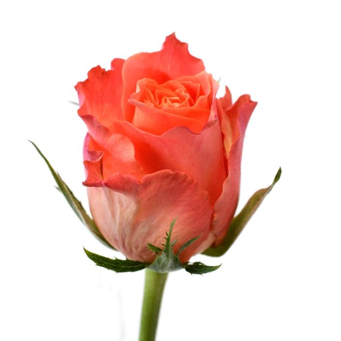 <h4>Rose Juliskha</h4>