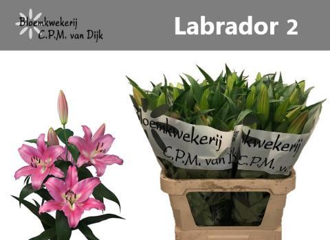 <h4>LI OT LABRADOR</h4>