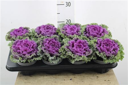 <h4>Brassica Curly Purple</h4>