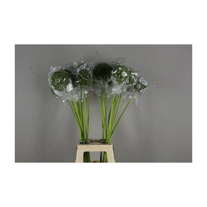 <h4>Allium Zaaddoos Groen</h4>