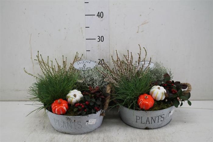 <h4>Arr Tuinplanten In Zinken Schaal</h4>