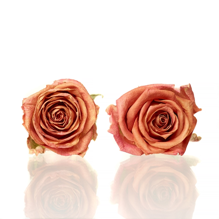 Rose Colandro orange 3,5-4cm