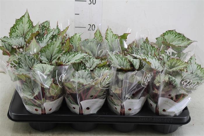 <h4>Begonia Rex Asian Tundra</h4>