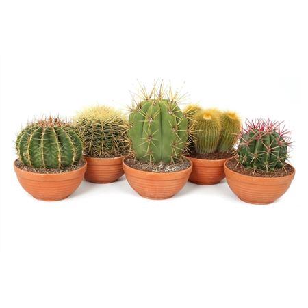<h4>Cactus Gemengd Schaal</h4>