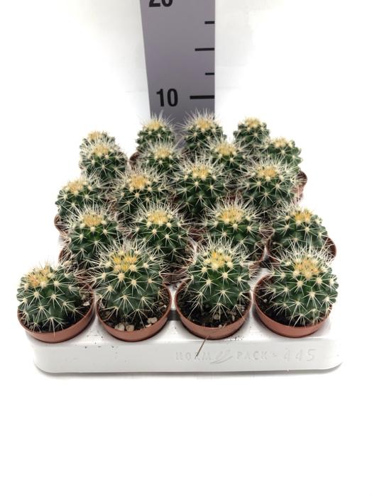 <h4>Echinocactus Grusonii 5,5Ø 8cm</h4>