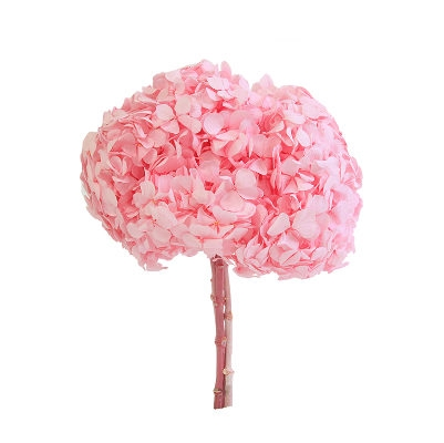 Hydrangea / Hortensia Rose Pastel HRT/0430