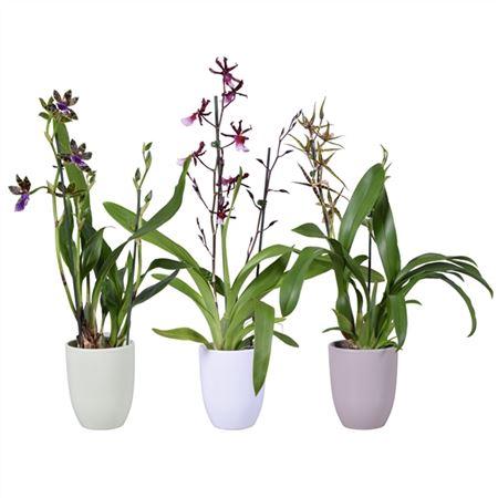 <h4>Orchideeën Gemengd 2 Tak Keramiek</h4>