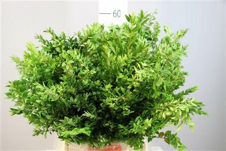 <h4>Buxus</h4>