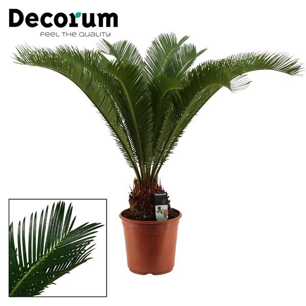 <h4>Cycas Revoluta 24 cm (Decorum)</h4>