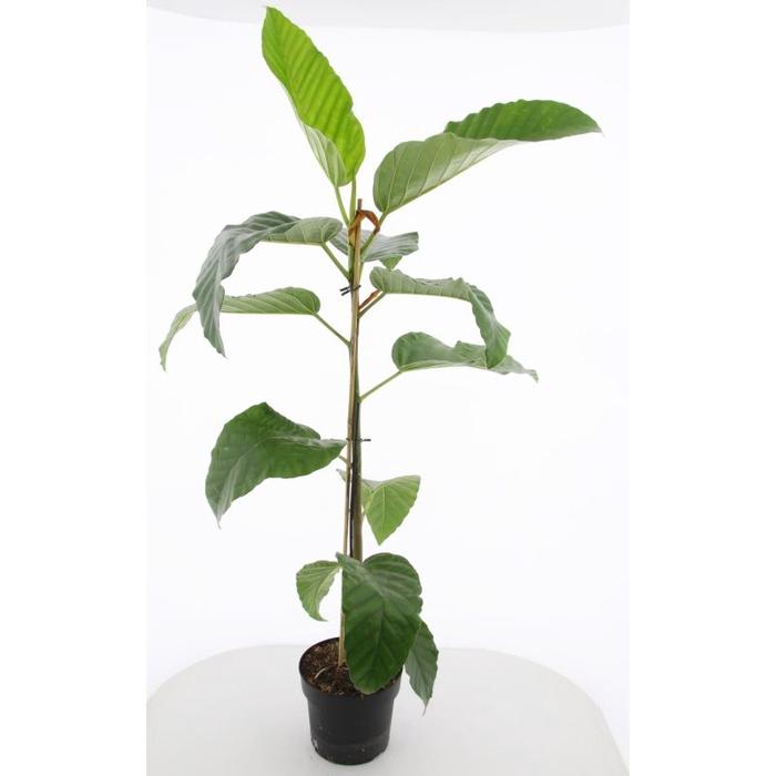 <h4>Ficus buss. Floris</h4>