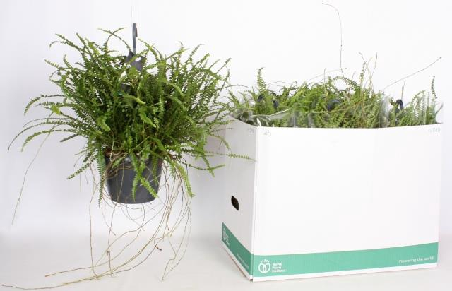 <h4>Nephrolepis cordifolia Duffii 17Ø 35cm</h4>