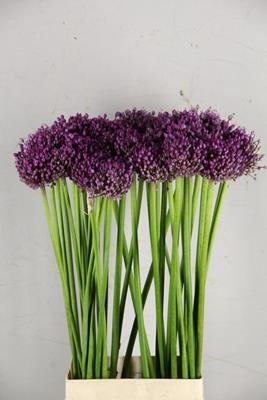 <h4>Allium Jasmine</h4>
