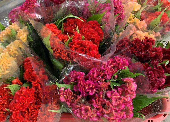 <h4>Celosia Cristata (p/bunch) Mix, P/Color Gr/Yl/Peach/Pu</h4>