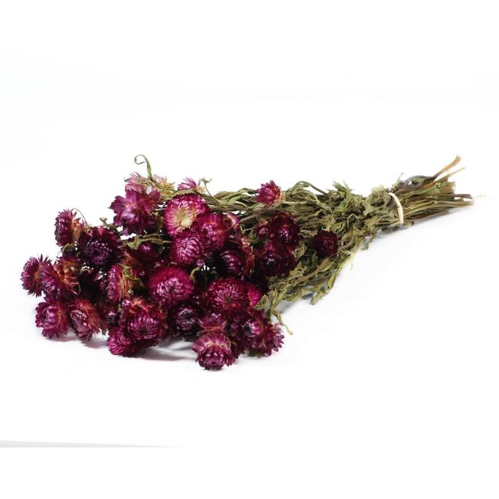 <h4>DRIED FLOWERS - HELICHRYSUM NATURAL DARKPINK</h4>