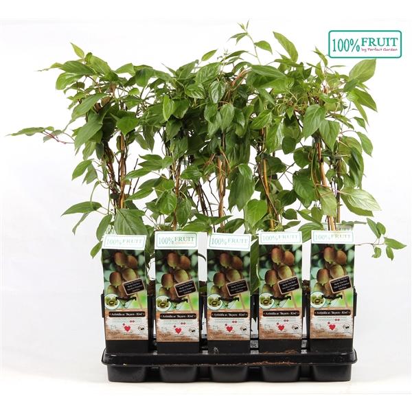 <h4>Actinidia arguta bayern kiwi - Female - 100%FRUIT</h4>