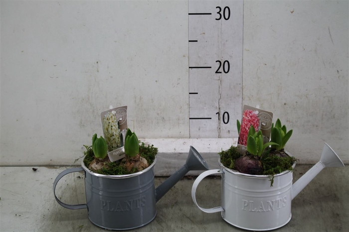 <h4>Hyacinth Mix 0911 Gieter Plants 3pp Mos</h4>