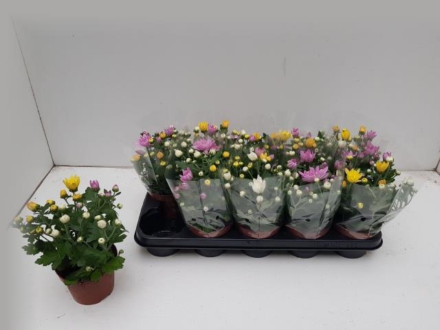 <h4>Chrysanthemum carnaval mix 12Ø 25cm</h4>