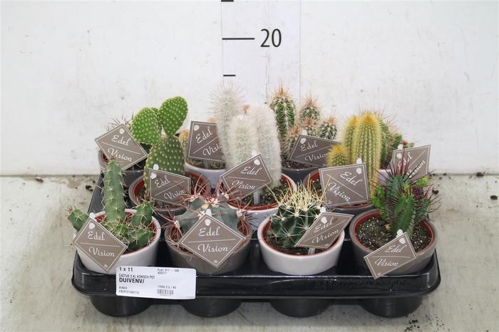 <h4>Cactus Gemengd In Konisch Vaasje</h4>