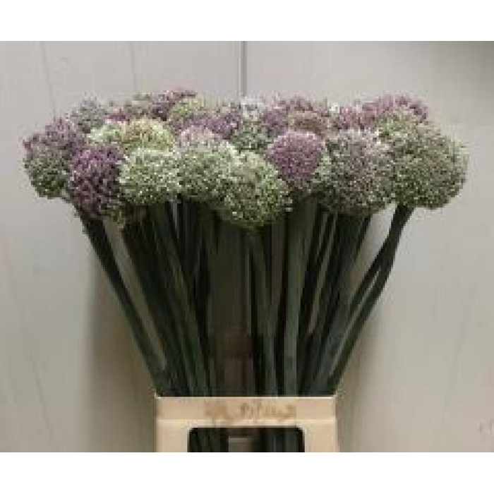<h4>Allium Kenton</h4>