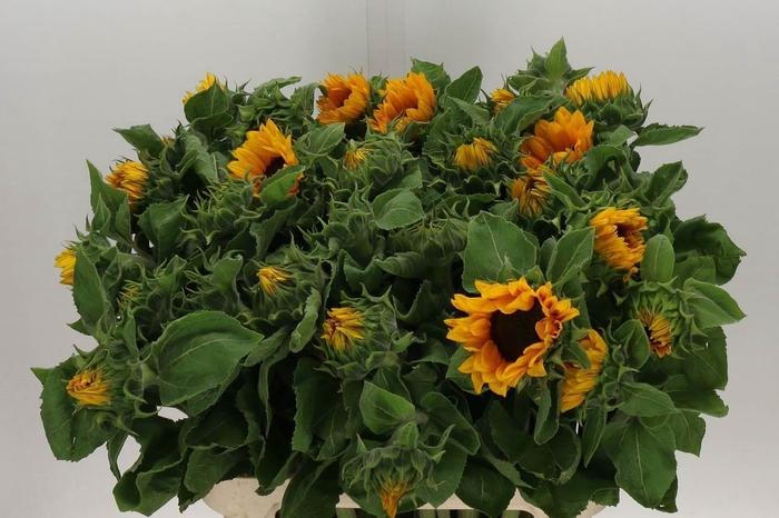<h4>Helianthus Sunrich Orange Ex</h4>
