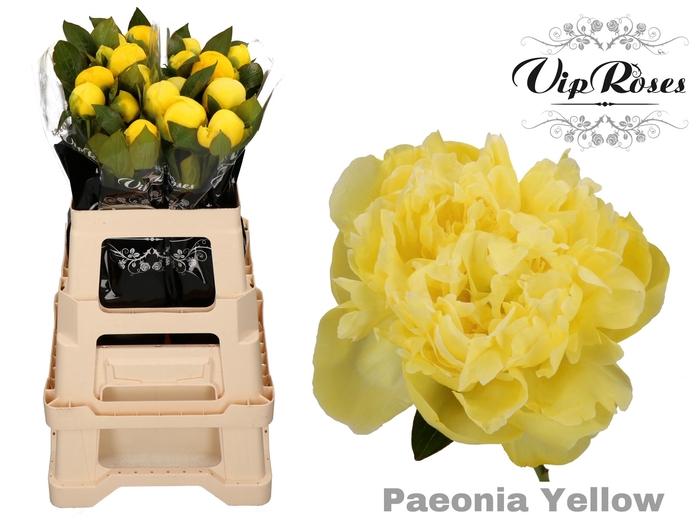 <h4>PAEONIA YELLOW L 50  x 20</h4>