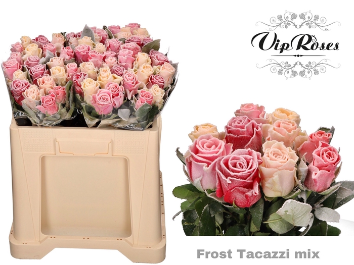 <h4>R GR FROST TACAZZI MIX IN BOS</h4>