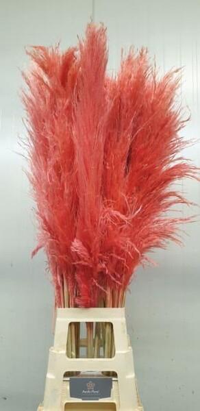 <h4>Dried Cortaderia H%</h4>